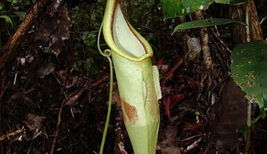 Nepenthes Hemsleyana