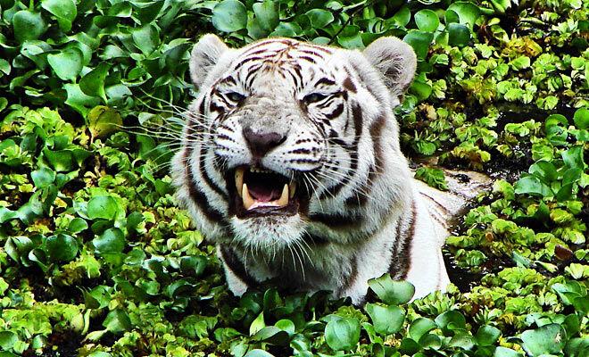 Regenwald Tiere Tiger Abenteuer Regenwald