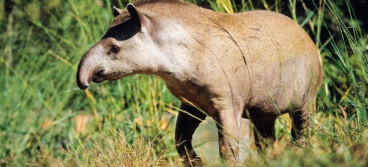 regenwaldtiere  tapire  abenteuer regenwald
