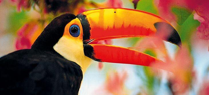 Roter Kopf riesiger Schwanz