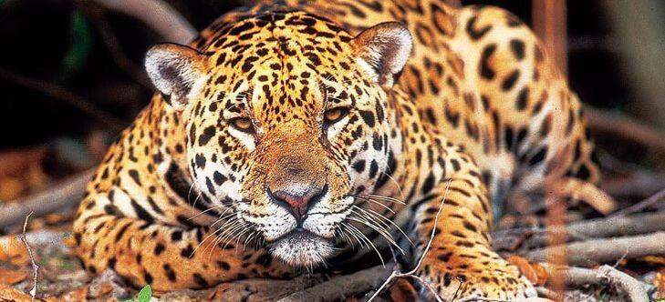 der jaguar - abenteuer regenwald